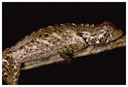 "Obras de Arte Italia Iguanid Lizard Retrato, Amazonia, Perú-Arte de papel 62""x42"""