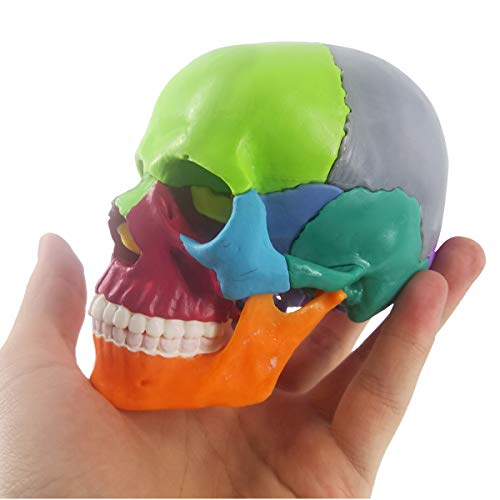 Mini Human Skull Model, Didactic 15 Parts Palm-Sized Anatomy Skull Model, Exploded Skull, Medical Teaching Learning, Kids Learning Education, Skull Puzzle, Colored