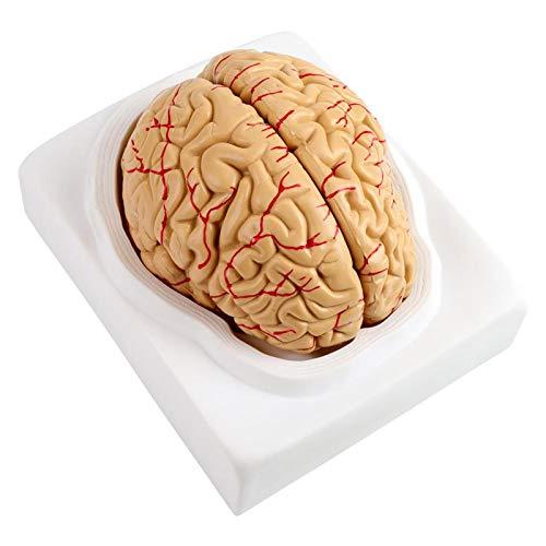 Modelo de cerebro humano de 8 piezas, modelo de cerebro anatómicamente exacto Modelo de cerebro humano con arterias Modelo de cerebro humano para la enseñanza de la neurociencia