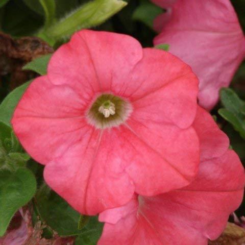 vegherb 15 Seeds of Violet einfache Welle Hybrid Petunia