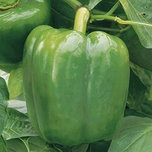 New Ace F1 Hybrid Pepper Seeds (20 Seed Pack)