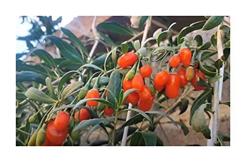 Stk - 1x Lycium Barbarum Goji Beere Beerensträucher Topf Garten - Pflanzen K-P317 - Seeds Plants Shop Samenbank Pfullingen Patrik Ipsa