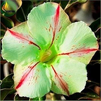 Fash Lady 100% de véritables 2 pcs graines de rose du désert, graines d'adénium bonsaï succulentes fleurs ornementales Plante pour jardin et balcon couleurs de mélange 21