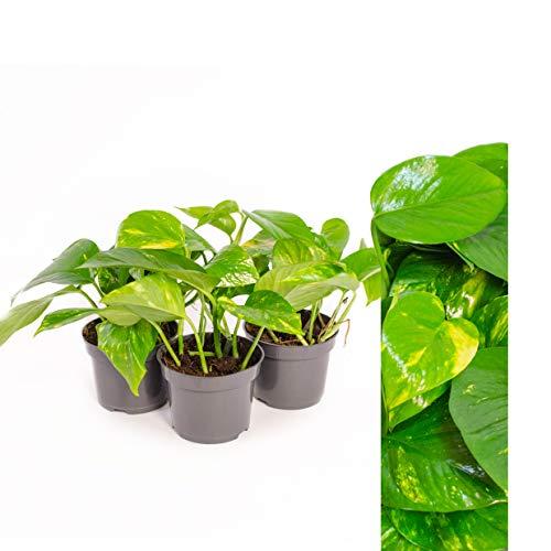 Scindapsus Epipremnum Efeutute in verschiedenen Grössen und Formen - 3 TÖPFE - am Moosstab, hängend als Ampel oder im Topf - Pflegeleichte immergrüne Zimmerpflanzen