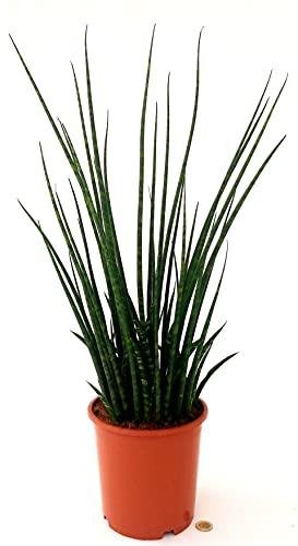 SANSEVERIA CILINDRICA MAYA XXL, ALTEZZA 70CM, piante vere