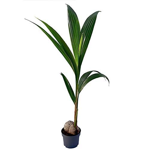 Pflanzen Kölle Kokospalme, Cocos Nucifera, lichtaffin, Topf 19 cm, Höhe 130 cm