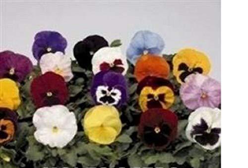 GETSO 10 x Stiefmütterchen F1 Spornen Gemischtes große Stecker Pflanzen bereit zu Pflanzen