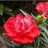 10:100本/袋カーネーションの種caryophyllus花の種子Semillas鉢植えポットプラント10のためのレアM愛の花