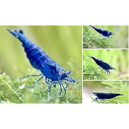 Blue Sapphire Garnele – Blaue Zwerggarnele – Neocaridina davidi 3 Stk