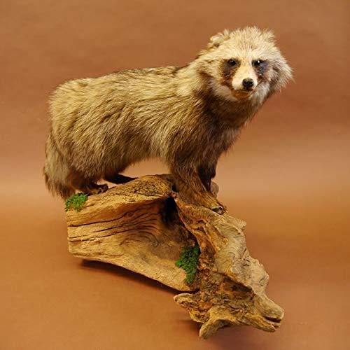 GTK - Geweihe & Trophäen KRUMHOLZ Kapitaler Marderhund Ganzpräparat Präparat Taxidermy Tanuki Enok Länge 78cm auf Wurzel Holz