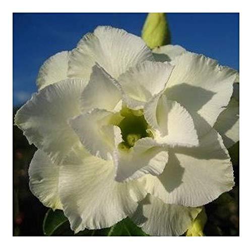 Adenium obesum Whitehouse - Rose du désert - Faux baobab - 3 graines