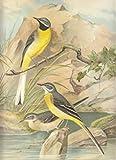 Graue Bachstelze. Motacilla boarula L.. Männchen. Weibchen. Junger Vogel (Sommerkleider). Chromolithographie.