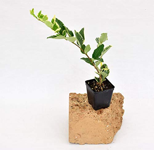 Pianta Ligustro Texanum, vaso 7cm, Altezza 10/15cm