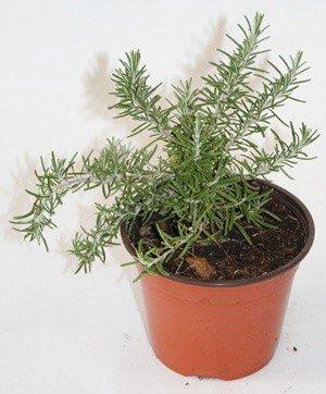 Romero rastrero (Maceta 10,5 cm Ø) - Planta viva - Planta aromatica