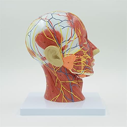 XIOFYA 1 stück Mensch, Schädel mit Muskeln und Nerven Blutgefäß, Kopfabschnitt Gehirn, menschliches Anatomie-Modell. Schulmedizinische Lehre