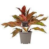 Plante d'intérieur – Aglaonème – Hauteur: 25 cm