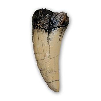 Prehistoric Planet Store - Tyrannosaurus rex Tooth  direct cast replica