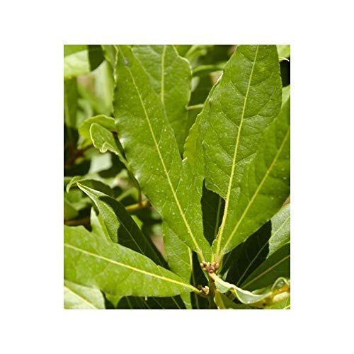 Laurel (Maceta 19 cm Ø) - Planta viva - Planta aromatica