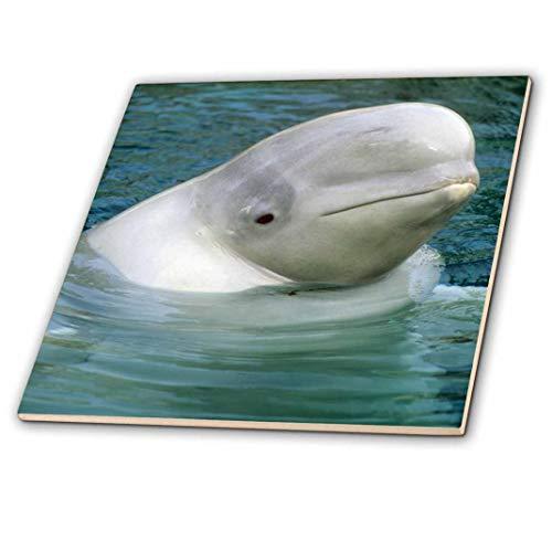 3dRose ct_76127_1 Belugawal, Belugawal, Vancouver Aquarium CN02 KSC0002 Kevin Schafer Keramikfliese, 10,2 cm