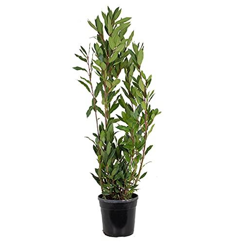 Echter Lorbeer | Laurus Nobilis - Freilandpflanze im Anzuchttopf ⌀21 cm - ↕80-90 cm