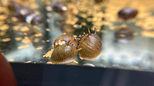Topbilliger Tiere Kronenschnecke (Thiaridae) 10x