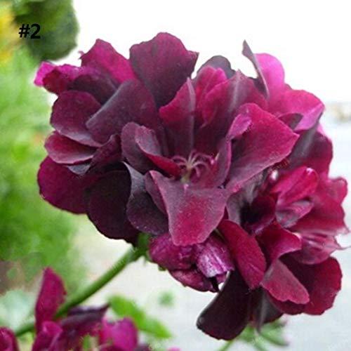ADOLENB Seed House - 10 unidades Raras semillas de geranio Appleblossom Rosebud Pelargonium Flores Semillas Planta Bonsai Jardín Planta en maceta perenne