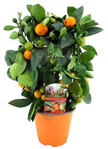 Calamondinorange 40 cm Citrofortunella microcarpa Citrus calamondin