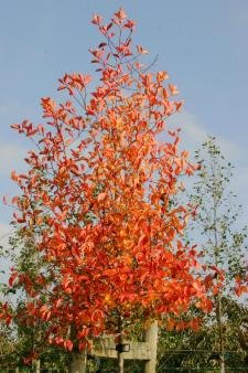 Pflaumenblättriger Weißdorn im Topf/Cont. 40 - 60 cm
