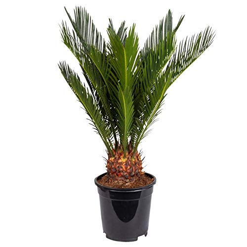 Pflanzen Kölle Palmfarn, Cycas revoluta Höhe 50 cm, Topf 17 cm
