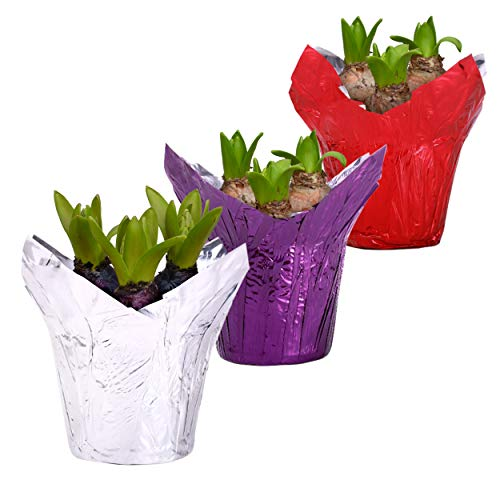 6' Hyacinth (Assorted) - 3 Per Pack
