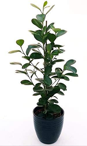 Fibus - Microcalzado moclame en maceta de cerámica negra a rayas, altura 70 cm, planta auténtica