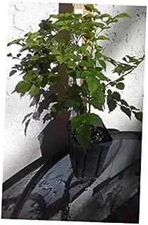 FFY Orange Red Cape Honeysuckle Tecomaria Capesis 1 Quart Hummingbird Flowering Vine - RK156