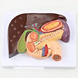 人間の解剖学的モデルボディスケルトン口腔筋肉舌解剖学ヘッドモデル医療教育