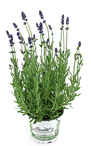 Lavendel im 12cm Topf, Lavendula Angustifolia winterhart