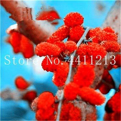 Bloom Green Co. Gran promoción !!!20 Piezas Negro Morera Bonsai Morus Nigra Ãrbol Jardín Arbusto Jardín de Bricolaje Hogar: 13