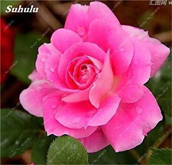 Livraison gratuite 100 pcs rare Hollande Rose Seed Fleurs Amant colorés jardin Plantes d'intérieur Bonsai Rose Graines de fleurs 13