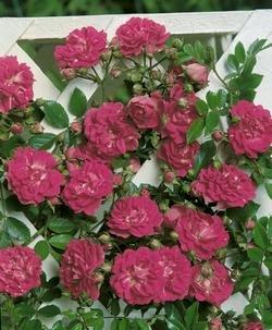 'Super Excelsa' -R-, Kletter-/Ramblerrose, ADR-Rose A-Qualität Wurzelware