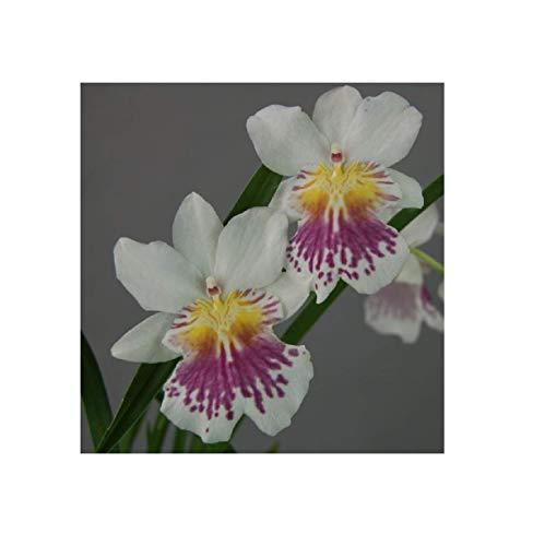 Stk - 1x Miltonia phalaenopsis Duftorchidee Pflanze Orchidee OW133 - Seeds Plants Shop Samenbank Pfullingen Patrik Ipsa