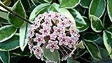 ScoutSeed COMPRAR 3 OBTENER 2 Semillas de Hoya Carnosa GRATIS 120pcs Rare Yellow Ball Orchid Bonsai