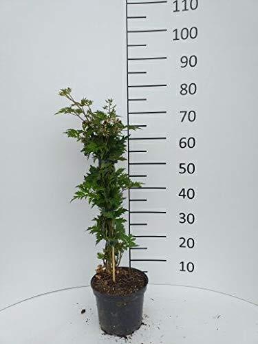 Späth Brombeere 'Thornless Evergreen' Strauch im 3 Liter Topf Beerenobst winterhart süß-leicht säuerliche Frucht