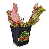 Carnivorous Plant - Sarracenia Purpurea...
