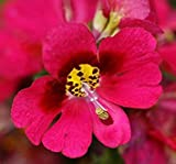 BloomGreen Co. Graines de fleurs: Schizanthus papillon Graines de fleurs des plantes pour toutes les saisons Garden Seeds Home Depot (7 Packets) Jardin Graines de plantes