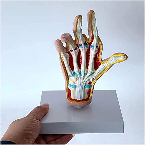 Modello anatomico della mano dell'attrezzatura vivente - Lesioni dell'anatomia del palmo reumatico Dolore al tendine del palmo e articolazione del vento per la visualizzazione dello studio di forma