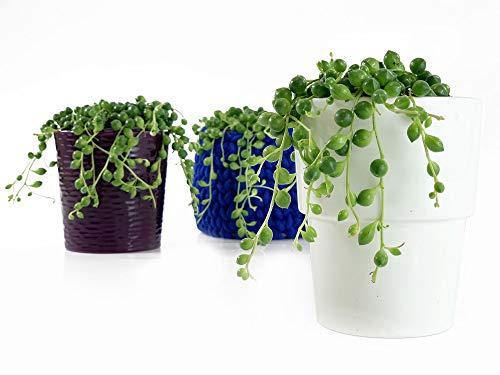 Isenzo Senecio Rowleyanus Perlenschnur Hängende Zimmerpflanze Dekopflanze Ampelpflanze