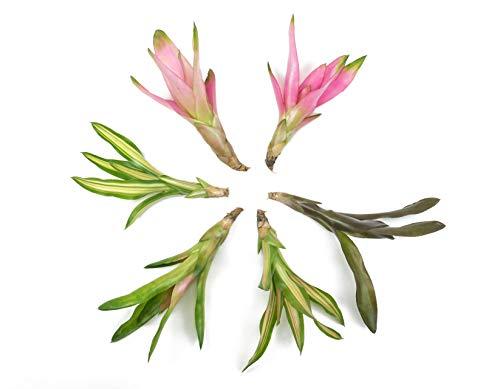 Neoregelia Bromeliad Plant Set (Assorted 6 Pack) Neoregelia Plant | Bromeliads Live Plant Starter Kit