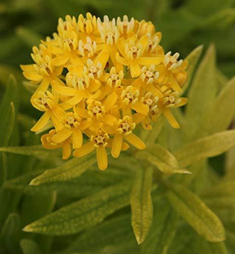Seidenpflanze Yellow - Asclepias...