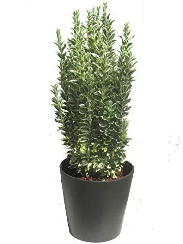 Euonymus japonicus \'White Spire\' Japanspindel 17 cm Topf- winterharter, wintergrüner, Strauch- als Kübelpflanze - für Balkon, Terrasse, Garten, als Hecke