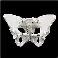 骨盤モデル-等身大の女性の骨盤骨格モデル-医療解剖学的女性の骨盤仙骨恥骨骨格モデル-研究用ディスプレイ教育医療モデル
