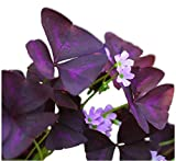 Oxalis Triangularis | Purple Shamrocks - 20 Robust Bulbs for Planting - Best Tubers - Easy to Grow Indoors & Outside | Ships from Easy to Grow TM