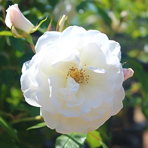 White Rosa Seeds 100+ (Wild Rose)Easy Grow Organic Clambing Vine Flower High Quality Fresh Plants Seeds for Planting Garden Outdoor Indoor